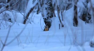 去年,在吉林延边仙峰国家森林公园老岭暗河景区曾经发现6只紫貂,引起